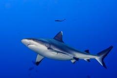 Gråa käkar för en haj som är klara att anfalla undervattens- upp ståenden Fotografering för Bildbyråer