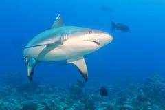 Gråa käkar för vit haj som är klara att anfalla undervattens- slut upp ståenden Arkivfoton