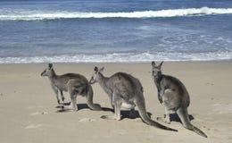 gråa kängurur royaltyfri foto