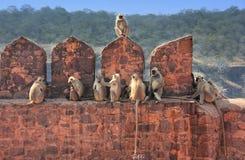 Gråa langurs (den Semnopithecus dussumierien) som sitter på Ranthambore F Royaltyfria Foton