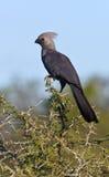 Gråa Lourie eller Går-Bort fågeln - Botswana Arkivbild