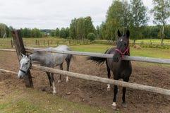 Gråa och svarta hästar betar i ranch royaltyfri bild