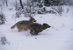 gråa running wolves arkivbilder