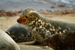 Gråa skyddsremsor som är slö på den hästintresserade Gap stranden Royaltyfri Fotografi