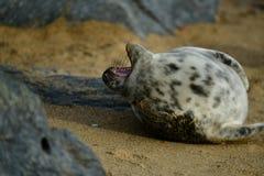 Gråa skyddsremsor som är slö på den hästintresserade Gap stranden Royaltyfria Bilder
