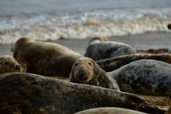 Gråa skyddsremsor som är slö på den hästintresserade Gap stranden Arkivfoton