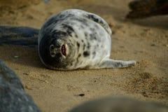 Gråa skyddsremsor som är slö på den hästintresserade Gap stranden Arkivbilder
