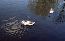 Gråa svanar i ett damm Royaltyfria Foton