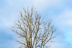 Gråa trädfilialer på himmelbakgrund Royaltyfri Fotografi