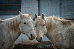 Gråa två eller vita hästar i en gårdsplan royaltyfri fotografi