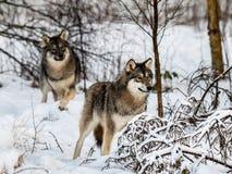 Gråa två wolfs, Canislupus som står i snöig vinterskog Arkivbilder