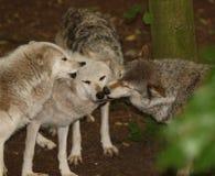 gråa wolves Royaltyfria Bilder