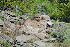 gråa wolves Arkivfoton