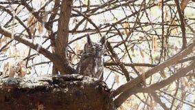 Gråaktig Eagle-uggla på filial stock video