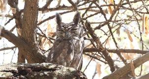 Gråaktig Eagle-uggla på torr trädfilial lager videofilmer