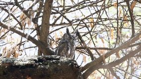 Gråaktiga Eagle-uggla blinkaögon arkivfilmer