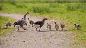 Grågås och goslings Fotografering för Bildbyråer