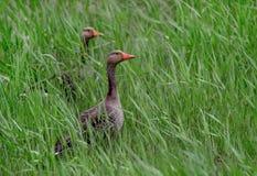 Grågåsgäss i det höga gräset arkivfoto