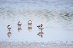 Grågåsgäss som avspeglar i sjön fotografering för bildbyråer