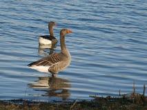 Grågåsgås, AnserAnser som står vid shoreline av sjön royaltyfri fotografi