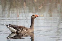 Grågåsgåsen simmar fridfullt på ett damm i morgonen royaltyfri fotografi
