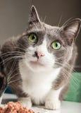 Gråna den härliga vuxna katten Arkivfoton