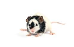 Gråna musen som isoleras på vitbakgrund Royaltyfria Bilder