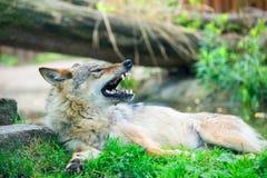 Gråna wolfen Arkivfoto