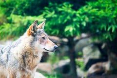 Gråna wolfen Fotografering för Bildbyråer