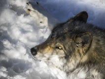 Gråna wolfen Royaltyfria Bilder