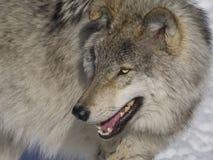 Gråna wolfen Arkivfoton