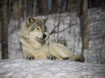Gråna wolfen Royaltyfri Foto