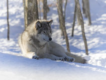 Gråna wolfen Royaltyfria Foton
