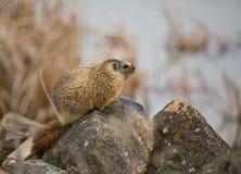 grånad marmot 2 Arkivfoton