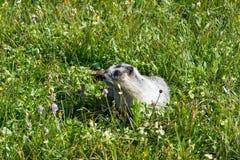 Grånad murmeldjur (Marmotacaligata) på en alpin äng för blomning, Gla Royaltyfria Bilder