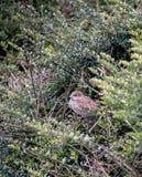 Gråsparv i en buske arkivfoto