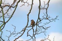 Gråsparv i träd Royaltyfri Foto