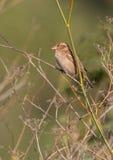 Gråsparv på torrt gräs Arkivbild