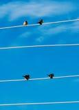 Gråsparvar på en elektrisk tråd arkivfoto