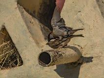 Gråsparvar som parar ihop - förbipasserandedomesticus arkivfoton
