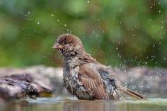 Gråsparven tvättar sig med droppar av vatten omkring royaltyfria bilder