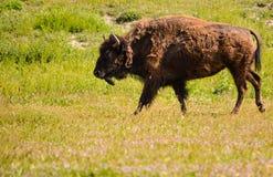 Gråsprängd bison Arkivbilder