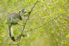 Gråsprängd jätte- ekorre, Ratufa macroura, i naturlivsmiljön Stort ekorresammanträde på taggig buske Härligt djur f för pälslag royaltyfri fotografi