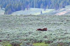 Gråsprängd manlig björn i Hayden Valley i den Yellowstone nationalparken i Wyoming USA arkivfoton