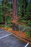 Gråsprängda färger för liten vikredwoodträddelstatspark royaltyfria bilder