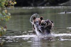 Gråsprängda gröngölingar som spelar i vattnet Arkivfoton