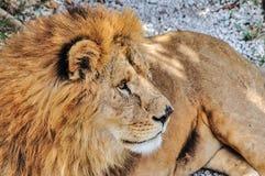 Gråsprängt manligt lejon Arkivfoton