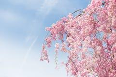 Gråta den körsbärsröda blomningen Arkivfoto