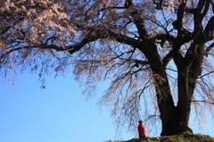 Gråta det körsbärsröda trädet Arkivfoton