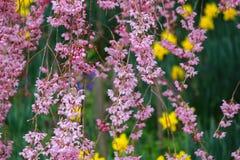 Gråta fördärvar körsbärsröda blomningar på den Funaoka slotten parkerar, Shibata, Miyagi, Tohoku, Japan i vår Arkivfoto